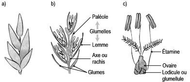 Notions Essentielles De Botanique Generale L Inflorescence