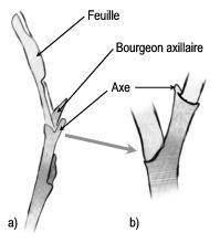 dessin d'un bourgeon axilaire